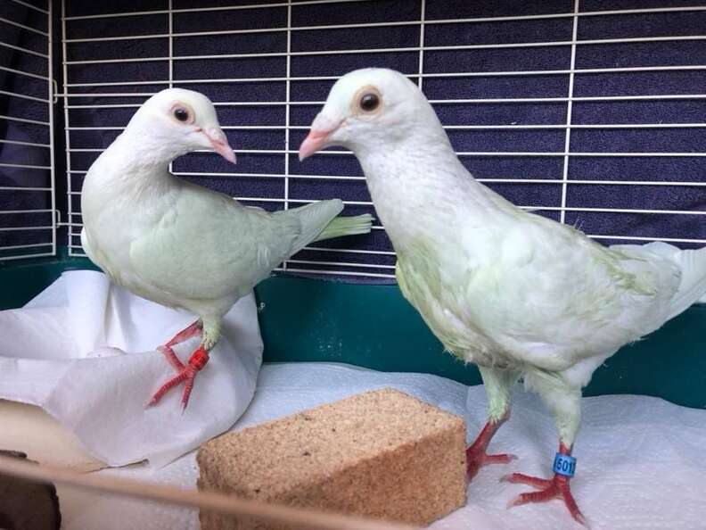 Rescued pigeons