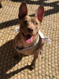dog rescue pit bull texas