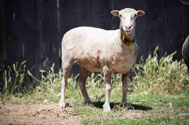 sheep rescue australia
