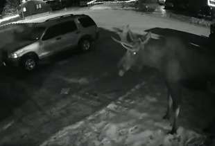 Mischievous Moose Ding-Dong Ditches House With His Massive Butt