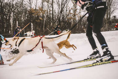 Skijoring with very good dogs