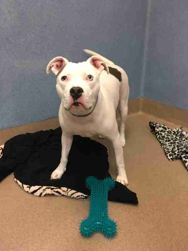 Valcor the deaf dog and his blankets at a California shelter