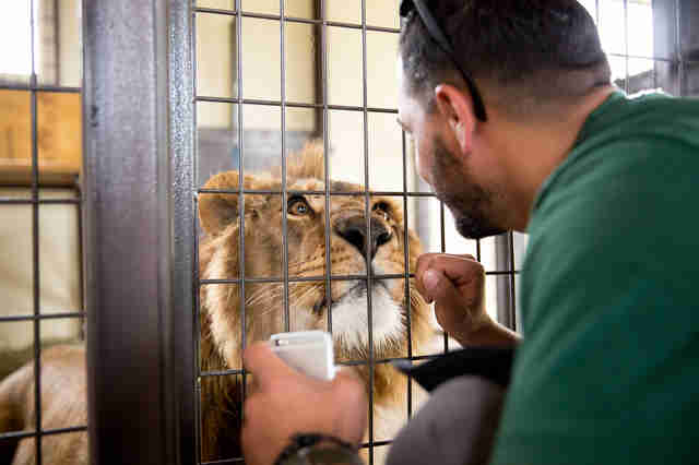 lion rescue syria