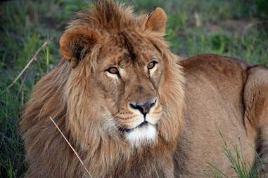 lion rescue saeed