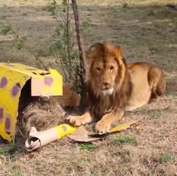 lion rescue syria