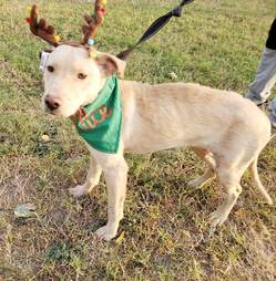 Lab mix with reindeer hat standing in yard