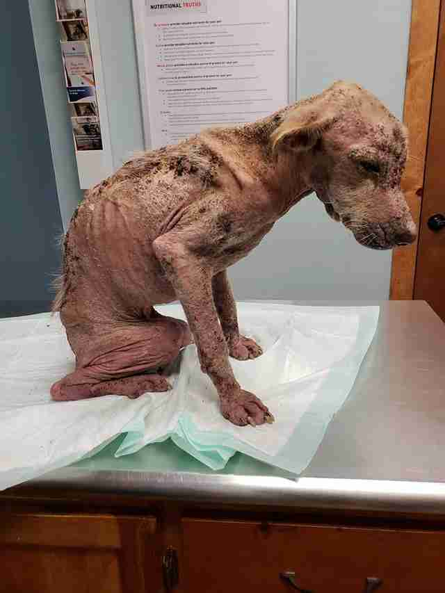 Dog without fur sitting on vet clinic table