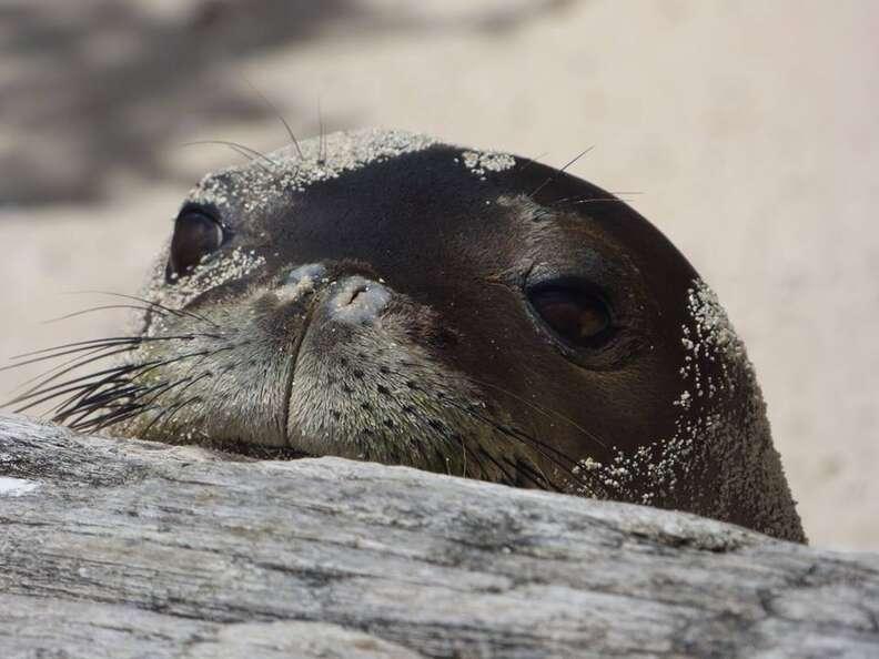 hawaiian monk seal noaa