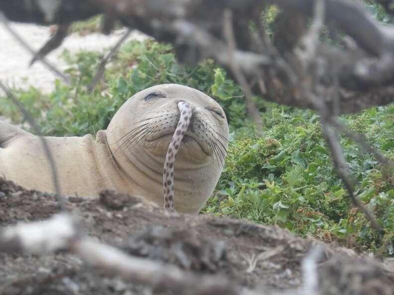 eel stuck in seal's nose