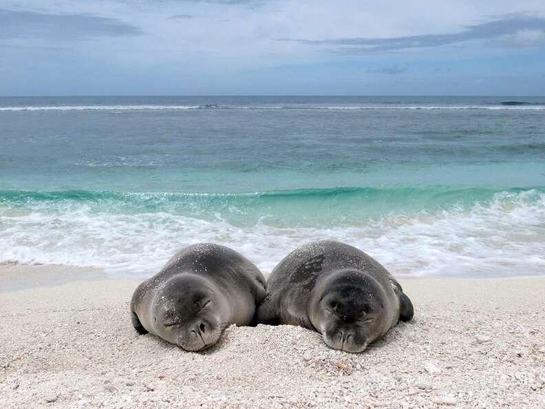 hawaiian monk seals noaa