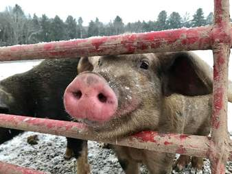 Rescued pig poking his head through gate