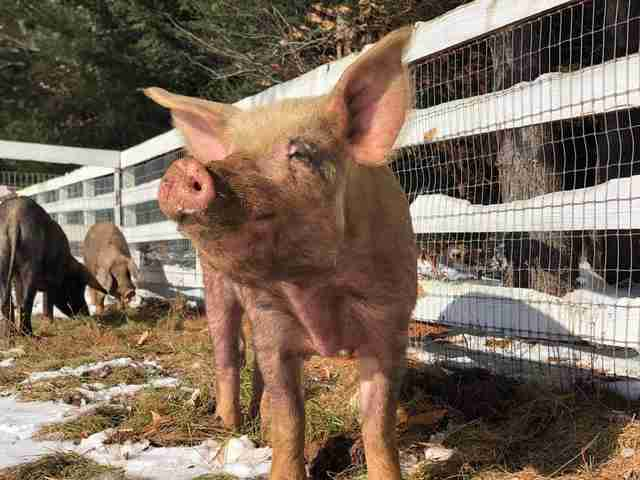 Rescued pigs inside stall at sanctuary