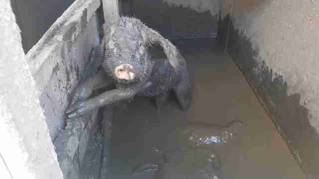Pig stuck in muddy stall