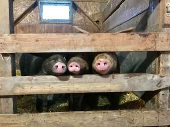 Rescued pigs poking their noses through gate