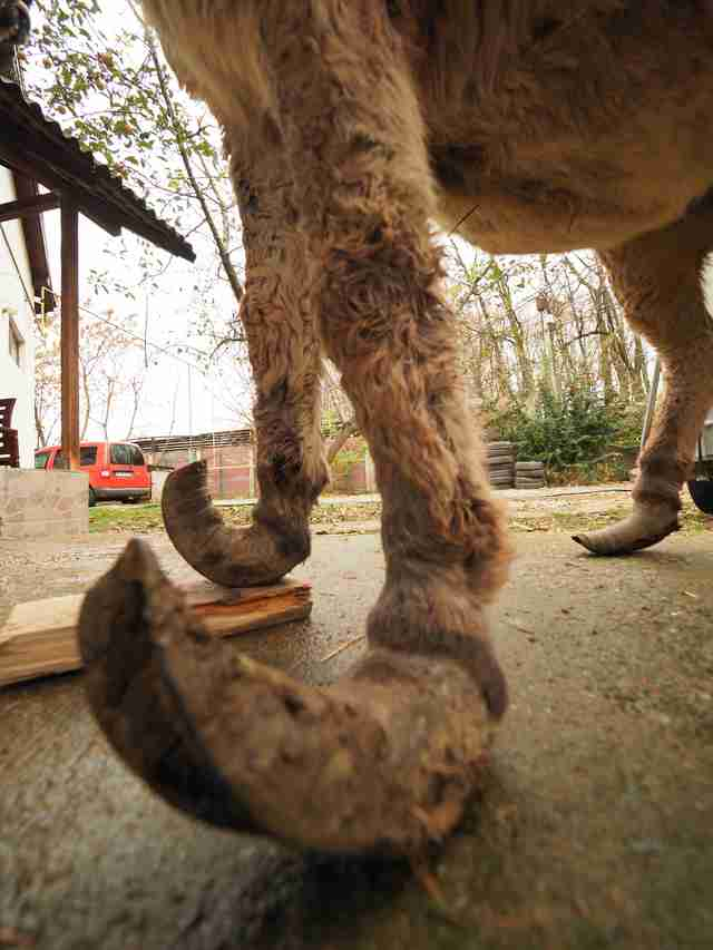 Abandoned donkey with overgrown hooves in Romania