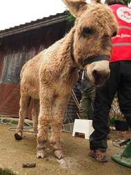 Neglected donkey with overgrown hooves gets help
