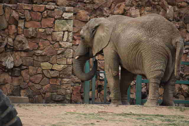 Lonely elephant inside zoo enclosure