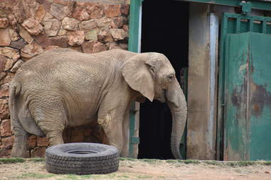 Lonely elephant in zoo enclosure