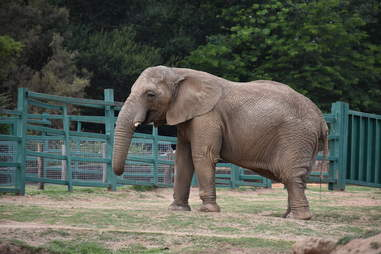 Elephant inside zoo enclosure