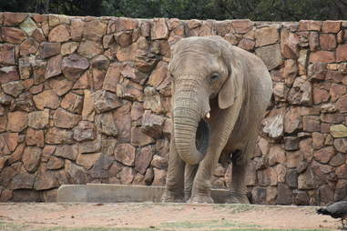 Lonely zoo elephant in enclosure