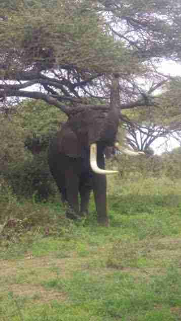 Elephant after rescue operation