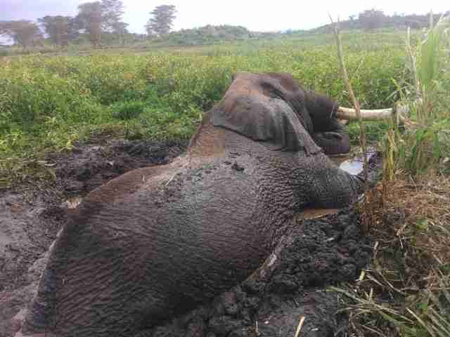 Wild elephant trying to climb out of mud hole