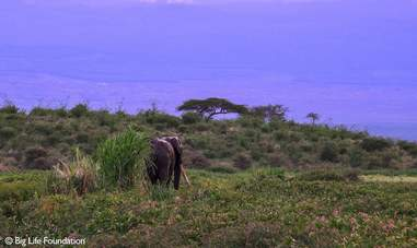 Wild elephant walking in the Kenyan bush