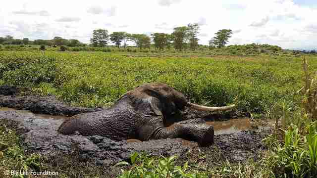 Elephant trying to climb out of swampy mud hole