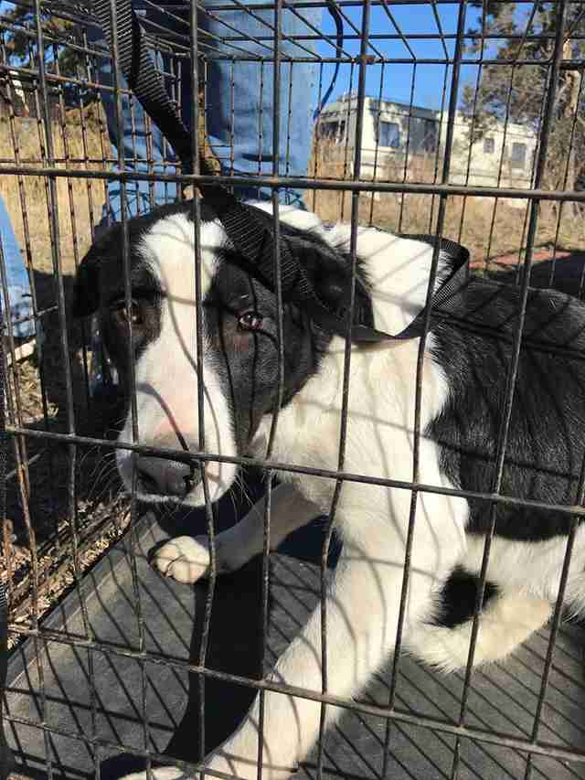 Border collie saved from backyard breeder