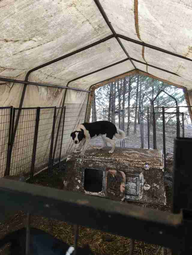 Border collies left outside backyard breeder in Kansas