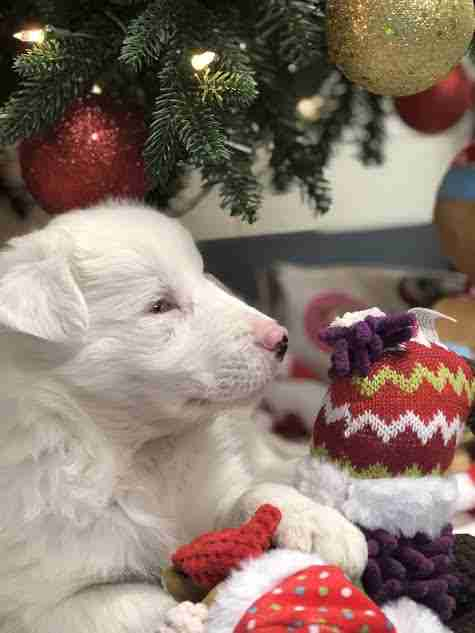 White puppy lying beneath Christmas tree