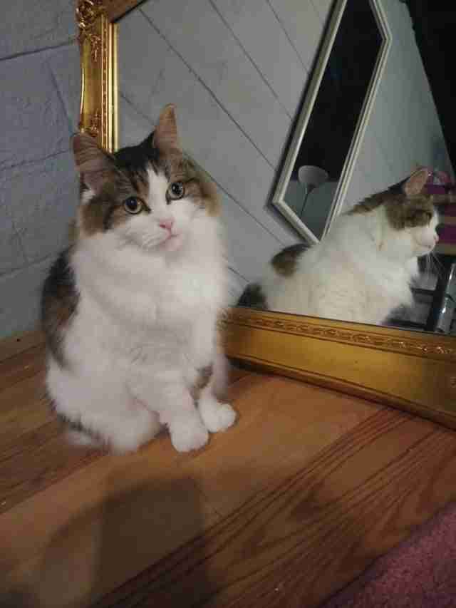 Cat standing in front of mirror