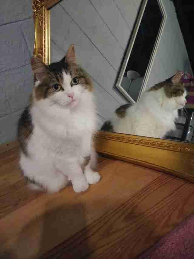 Cat standing in front of mirror
