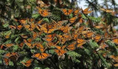 National Butterfly Center's clouds of monarch butterflies