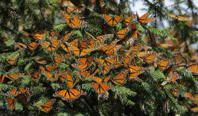 National Butterfly Center's clouds of monarch butterflies