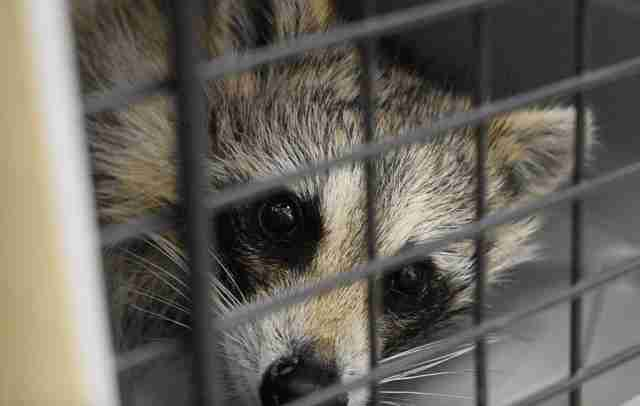 raccoon rescue