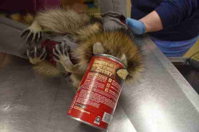 Raccoon Looking For A Snack Gets His Head Stuck In A Can