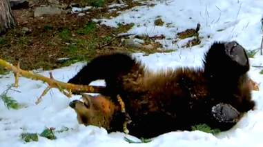 Rescued bear plays in the snow
