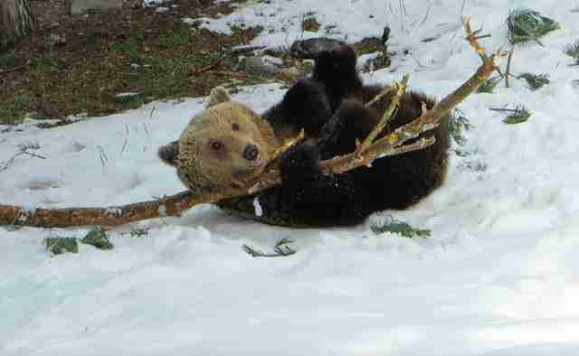 Rescued bear playing with log in the snow