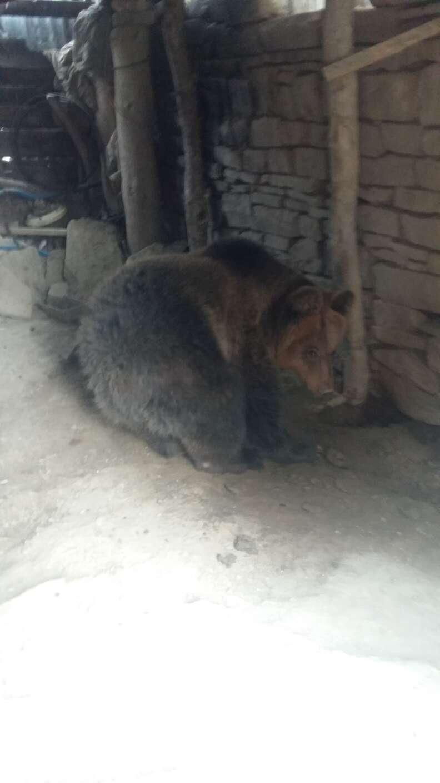 Bear kept as pet in Albania