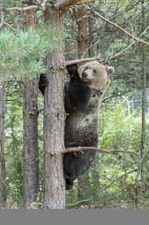 Rescued bear climbing tree at sanctuary