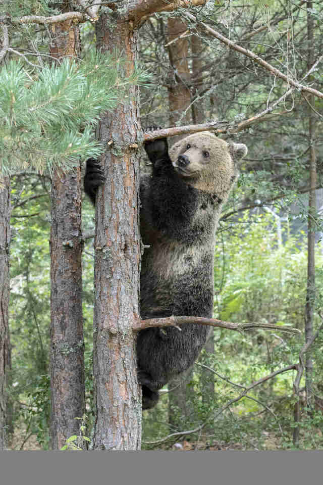 Rescued bear climbing tree at sanctuary