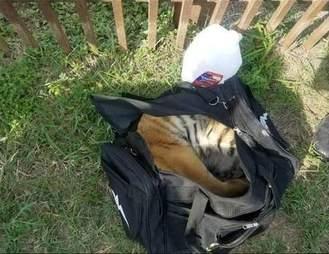 tiger cub rescue mexico