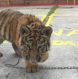 tiger rescue mexico