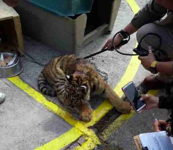 tiger rescue mexico