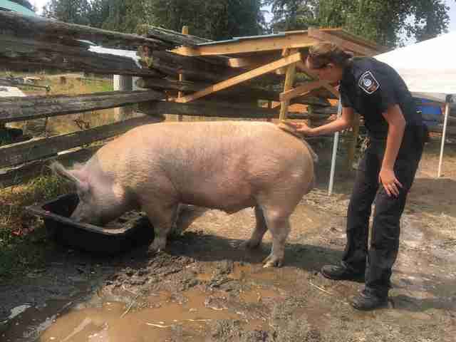 800-Pound Pig Found On Streets Just Wants Someone To Love Him