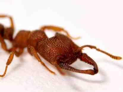 Dracula ant, madibles, fastest animal movement