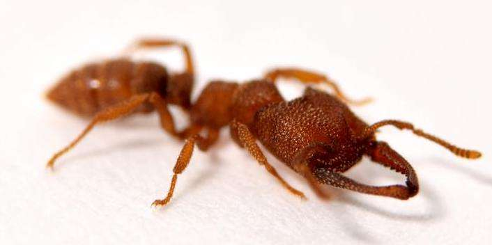 Dracula ant, madibles, fastest animal movement