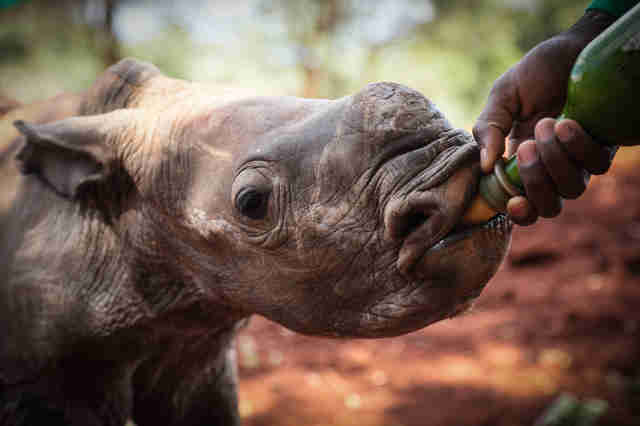 Baby rhino drinking milk from bottle