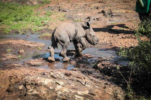 Baby rhino walking near creek